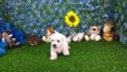 West Terrier Zeus (10)