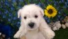West Terrier Zeus (11)