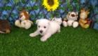 West Terrier Zeus (2)