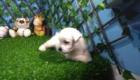 West Terrier Zeus (4)