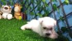 West Terrier Zeus (5)