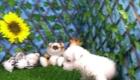 West Terrier Zeus (6)
