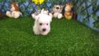 West Terrier Zeus (7)