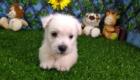 West Terrier Zeus (8)