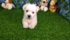 West Terrier Zeus (9)
